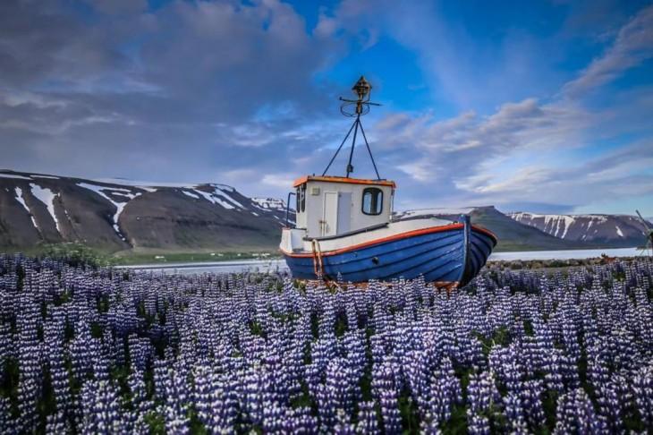 Barco sobre los campos fascinantes de altramuces en Islandia