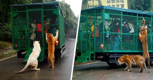 El zoológico chino donde los visitantes son enjaulados y los animales caminan libres