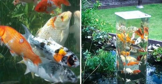 Mirador para pez koi en estanque