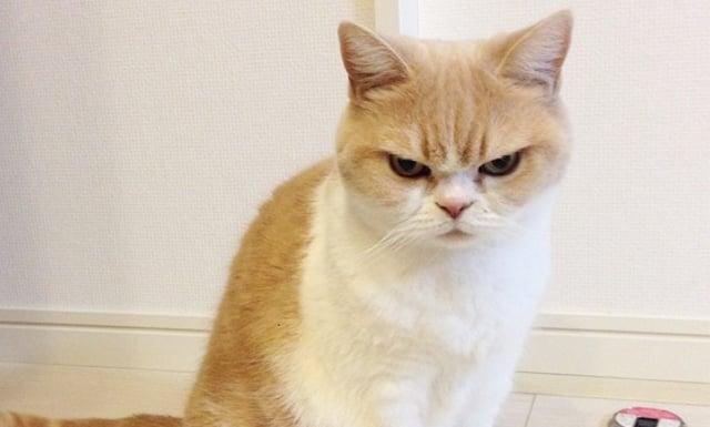 gato con la cara de enojado