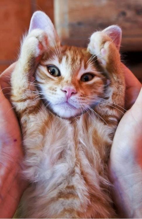 Gato tapandose las orejas