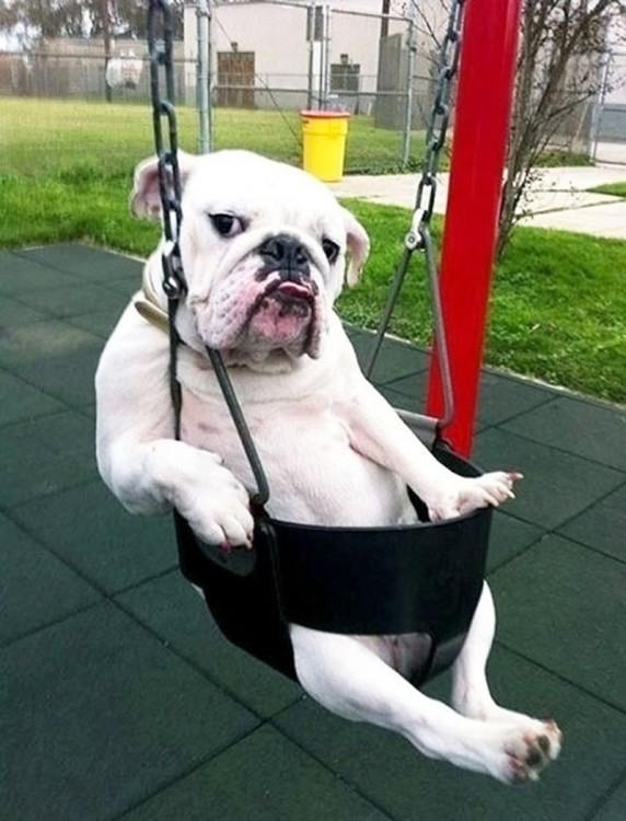 bulldog en columpio