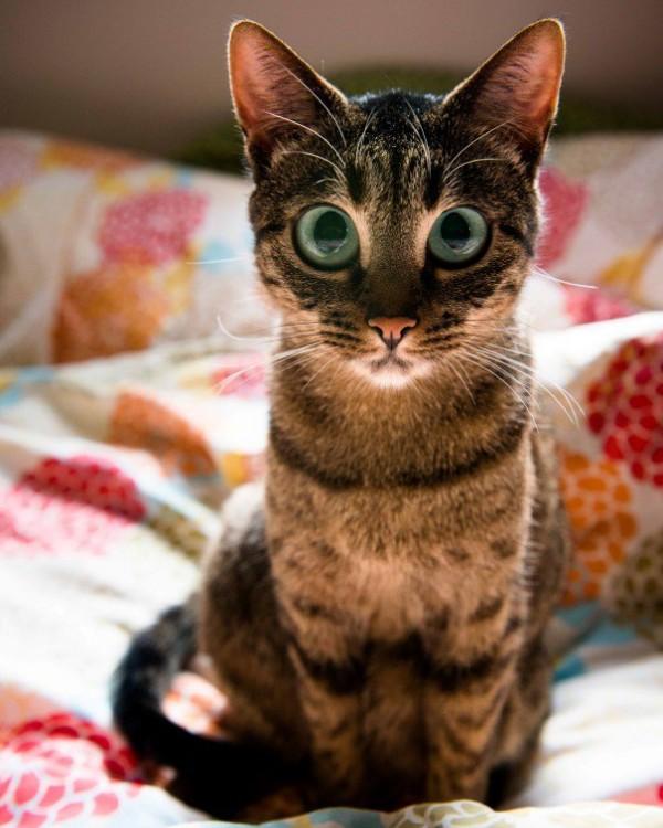gato mirando fijamente a un punto