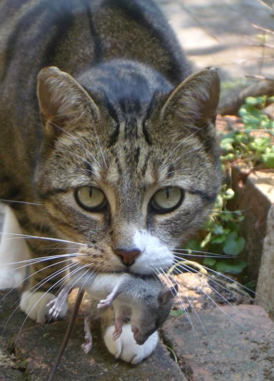 gato con un raton muerto en la boca
