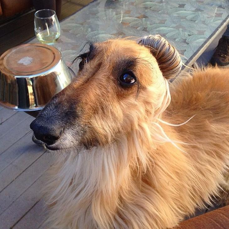 perro con un peinado al estilo dog bun