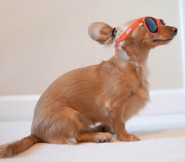 Fotografía de un perro con lentes peinado con un chongo