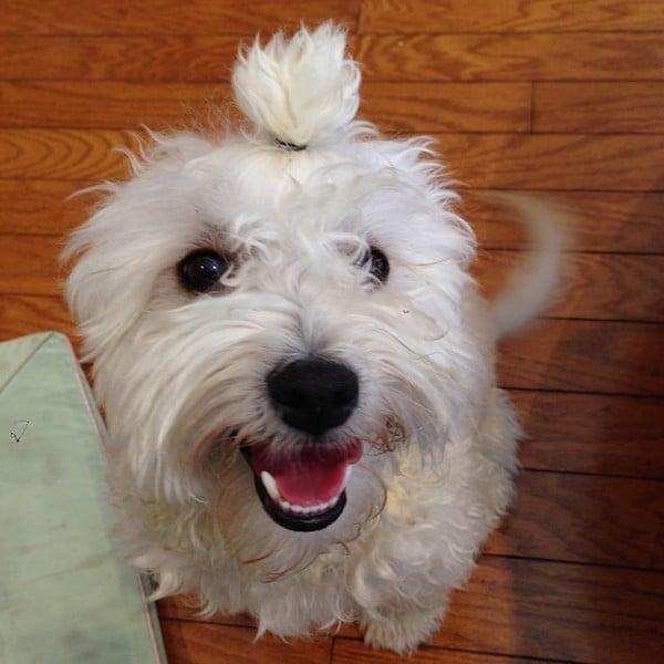 cachorro blanco con una colita sobre su cabeza