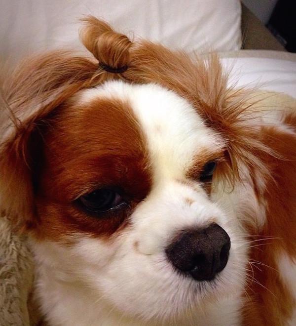 perrito peinado con un chongo