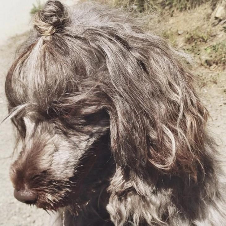 cachorro de pelo gris con un chongo