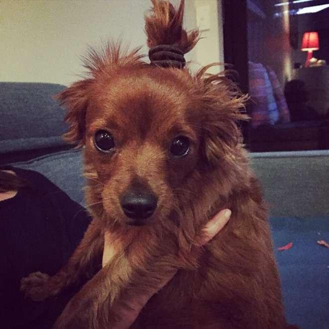 perrito con el peinado Dog Bun