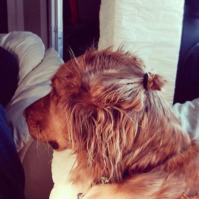 cachorro golden con un pequeño chongo sobre su cabeza