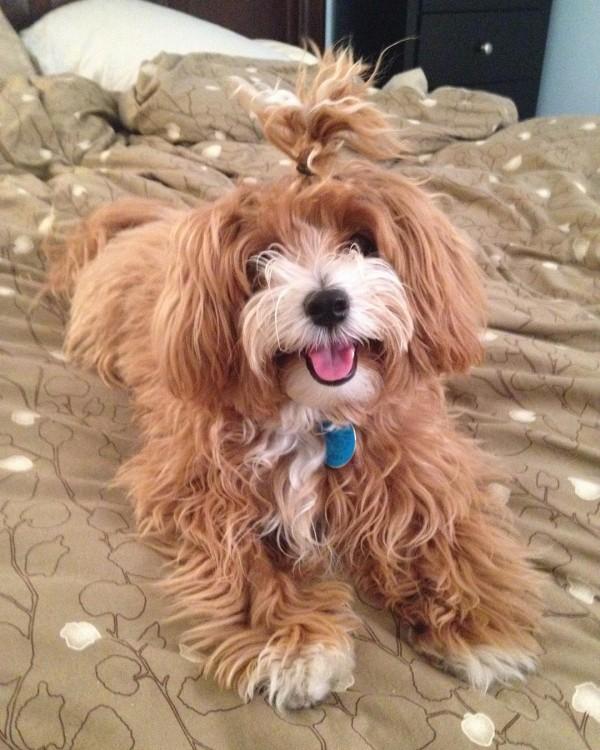 perrito acostado sobre su cama luciendo su chongo