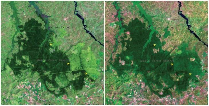 Bosque de Mabira, Uganda. Noviembre de 2001 y enero de 2006