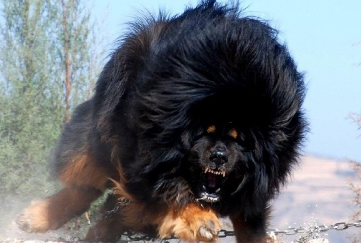 Dogo del Tíbet una de las razas de perros poco comunes