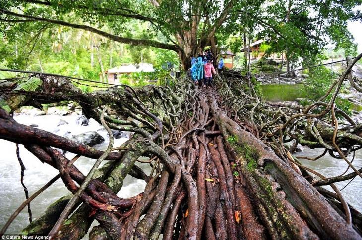 raíces de un árbol formando un puente en Indonesia