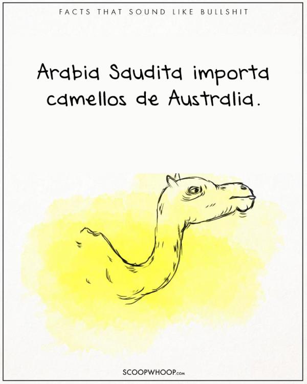 arabia saudita importa camellos a australia