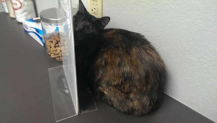 gato que está escondido del veterinario