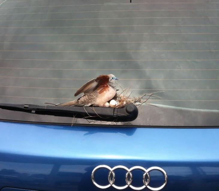 nido de pájaro sobre el limpiaparabrisas de un coche