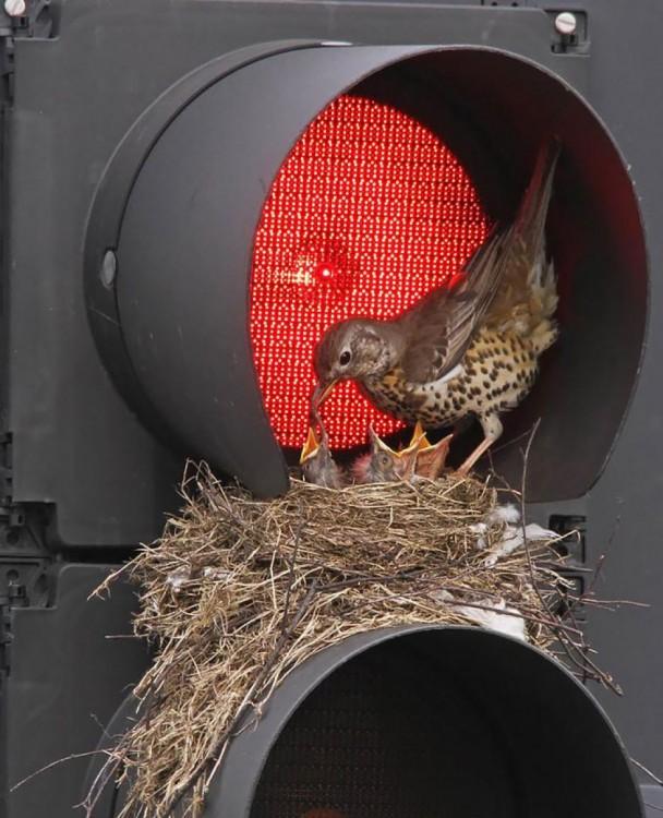 nido de pájaro en un semáforo