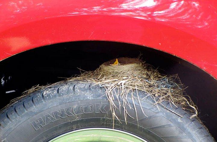 nido de aves sobre la llanta de un coche