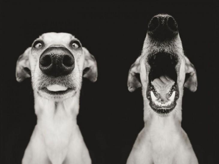 Fotografía de dos perros uno mirando hacia enfrente mientras el otro bosteza