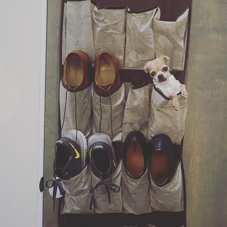 perrito chihuahua dentro de un organizador de zapatos