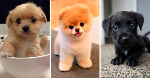 Los perros pequeños mas hermosos del mundo.