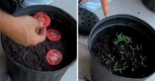 Como obtener tomates en 10 días