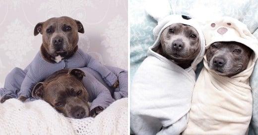Darren y Phillip adorables Staffordshire Bull Terriers que viven en Brisbania, Australia, y han logrado conquistar a Internet