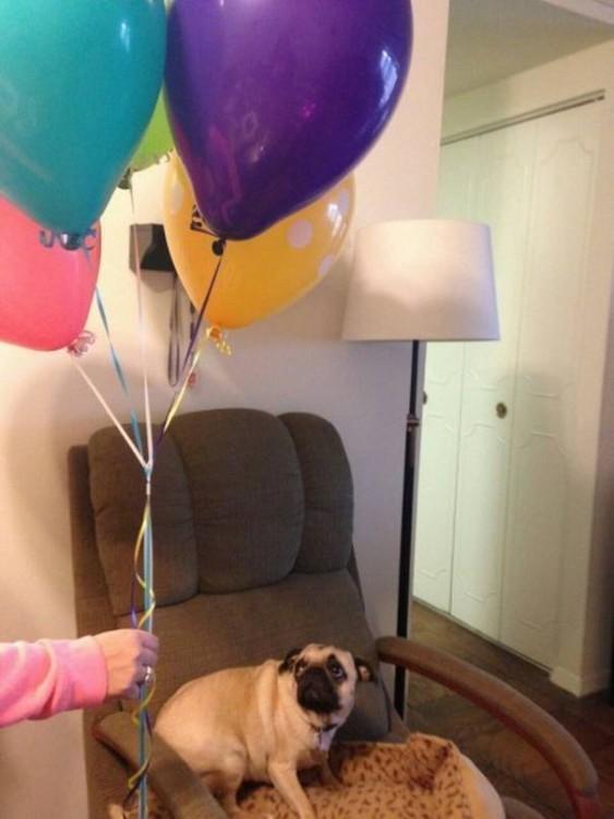 perro pug asustado por globos de helio