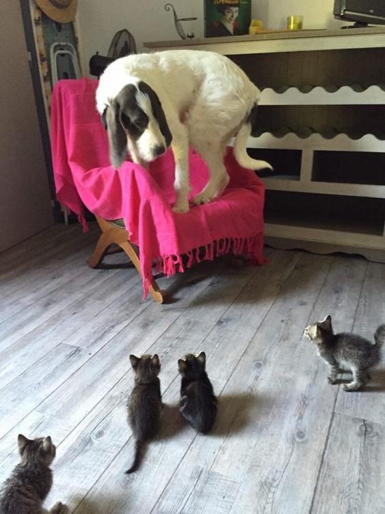 Perro grande arrinconado por 4 gatitos
