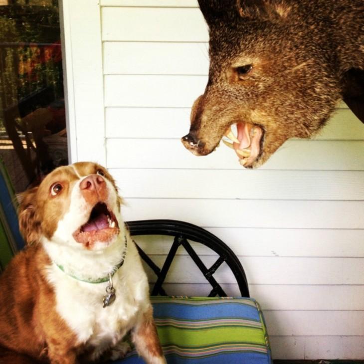 Perro espantado por rostro de jabalí disecado