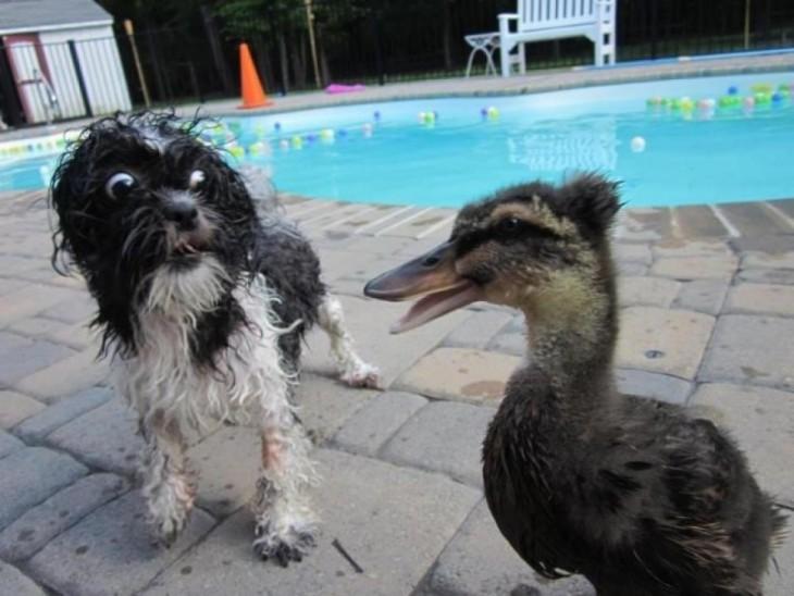 Perro se asusta al ver a un pato