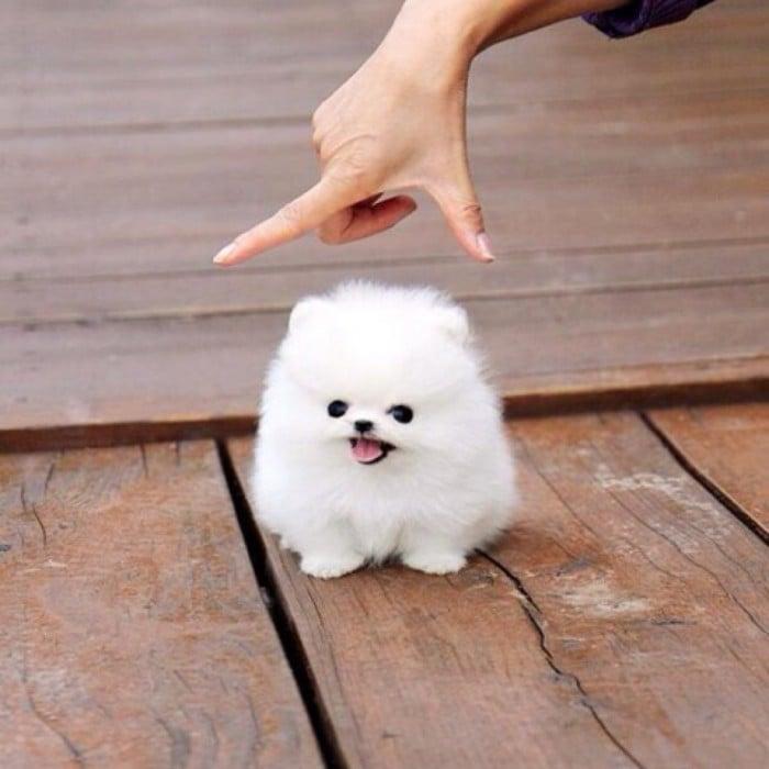perro blanco chiquito