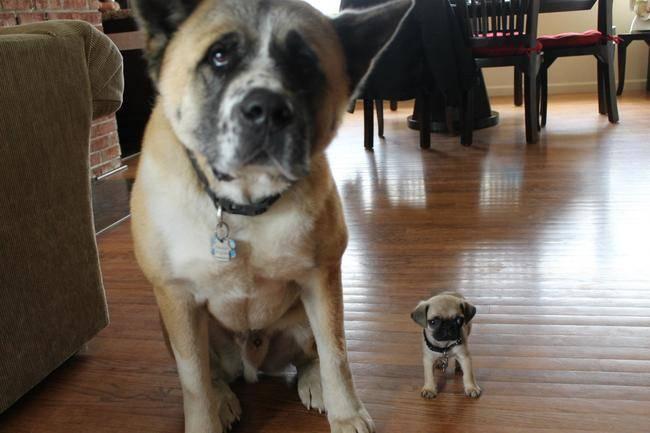 Pug pequeño junto a perro más grande