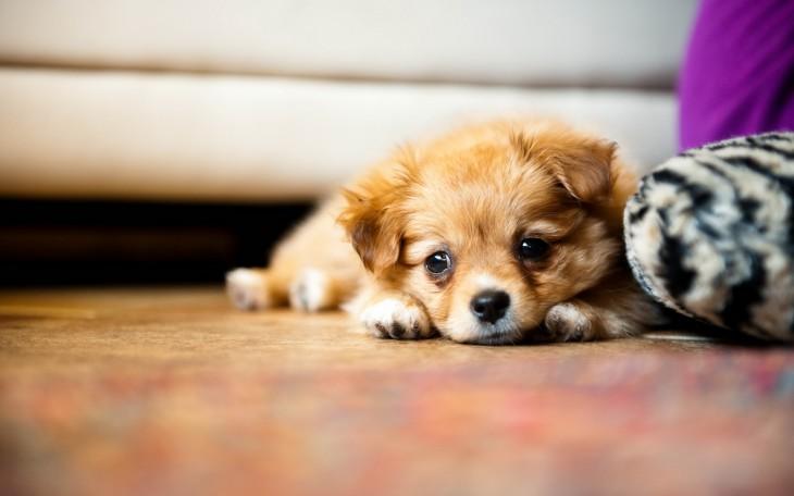 perro chiquito acostado