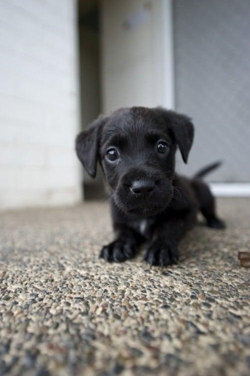 perro negro chiquito