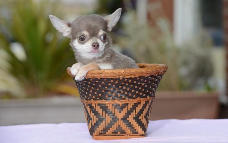 perrito chihuahua dentro de canasta