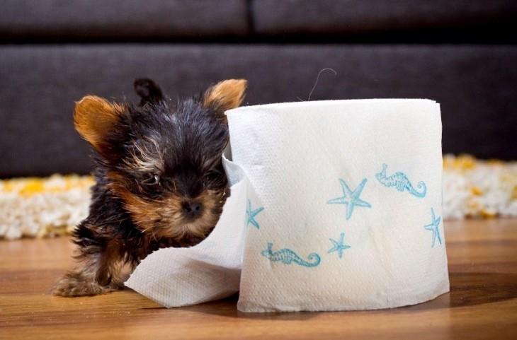 perrito del tamaño de un rollo de papel higiénico