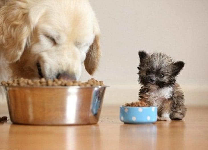 perro mini comiendo en tacita mini
