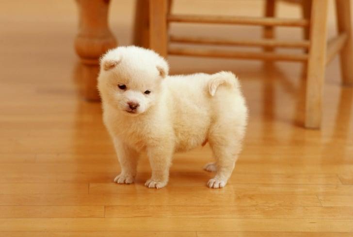 perro chiquito blanco
