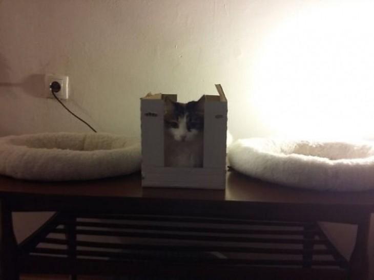 gato en mini caja en la que no cabe; tiene dos camas a los lados