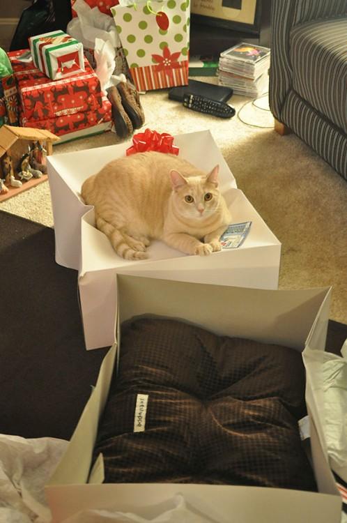 gato prefiere dormir sobre la caja en la que venía envuelta su cama