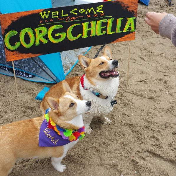 dos perros corgis con un letrero de bienvenidos a Corgchella