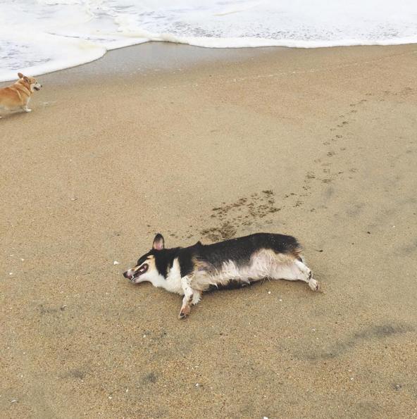 corgi acostado en la playa descansando