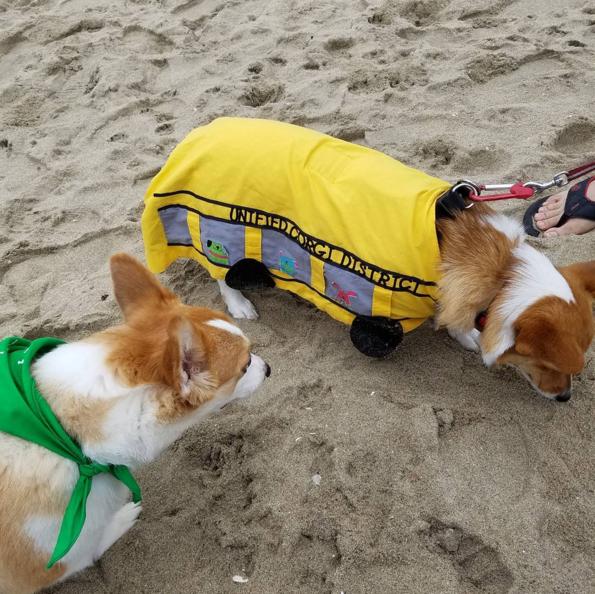 dos corgis en la playa uno con paliacate verde y otro disfrazado de autobús escolar