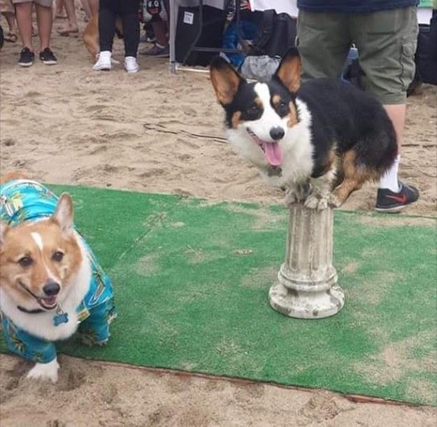dos corgis en la playa en prueba de talento