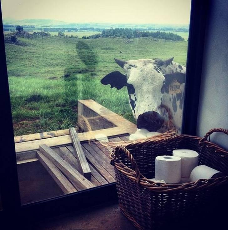 vaca mirando a un baño