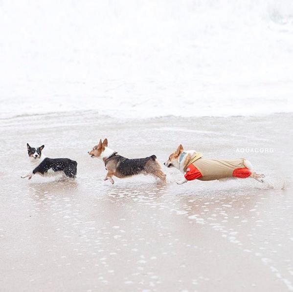 3 corgis corriendo en la orilla del mar