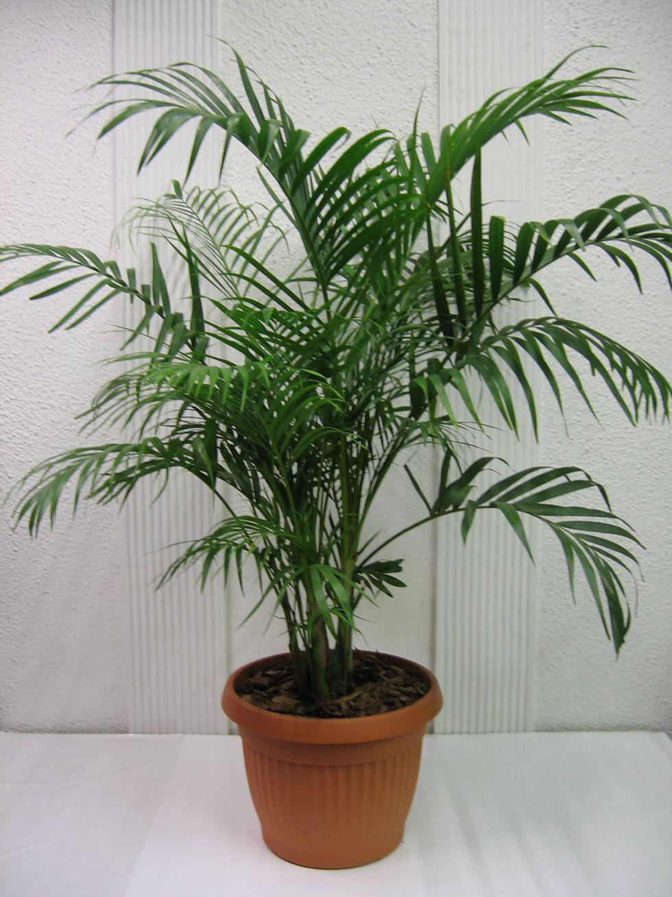 Комнатные цветы с названиями и фото пальм